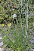 Onion-leaved Asphodel - Asphodelus fistulosus Tall Flower from Cyprus poster