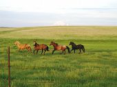 Four horses running in a pasture poster