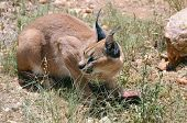 Wild female caracal with a prey in the african savannah Namibia poster