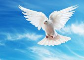 A free flying white dove isolated on a white background poster