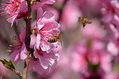 Pollination of flowers by bees peach. White pear flowers is a source of nectar for bees. Pollination of fruit trees. poster