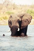 Large African elephants (Loxodonta Africana) walking through the river in Botswana poster