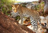 Leopard (Panthera pardus) standing alert on the tree in nature reserve in Botswana poster