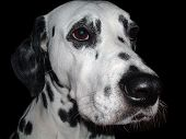 head of the black - spotted dalmatian dog poster