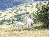 two rocky mountain goats in glacier national park montana. poster