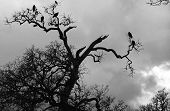 crows on tree branches on a cloudy wintry day. poster