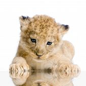 lion cub lying down in front of a white background. all my pictures are taken in a photo studio. poster