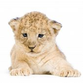 lion cub (3 weeks) lying down in front of a white background. all my pictures are taken in a photo studio. poster