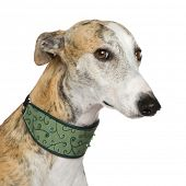 Galgo Espanol (4 years) in front of a white background poster