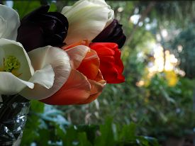 Tulips in a vase with a garden blurred in the background with evening sunlight