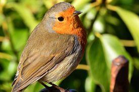 Robin or Robin Redbreast is the English Robin Erithacus Rubecula.
