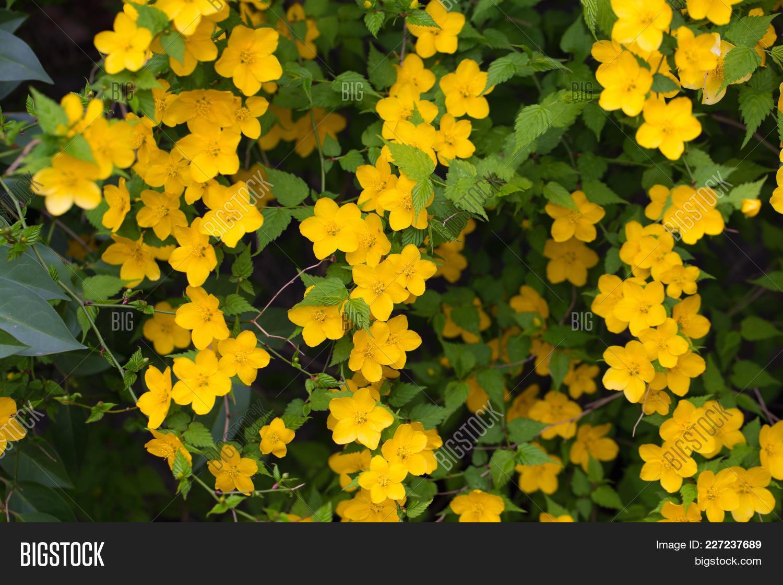 Golden yellow flowers image photo free trial bigstock golden yellow flowers of kerria flower kerria japonica mightylinksfo