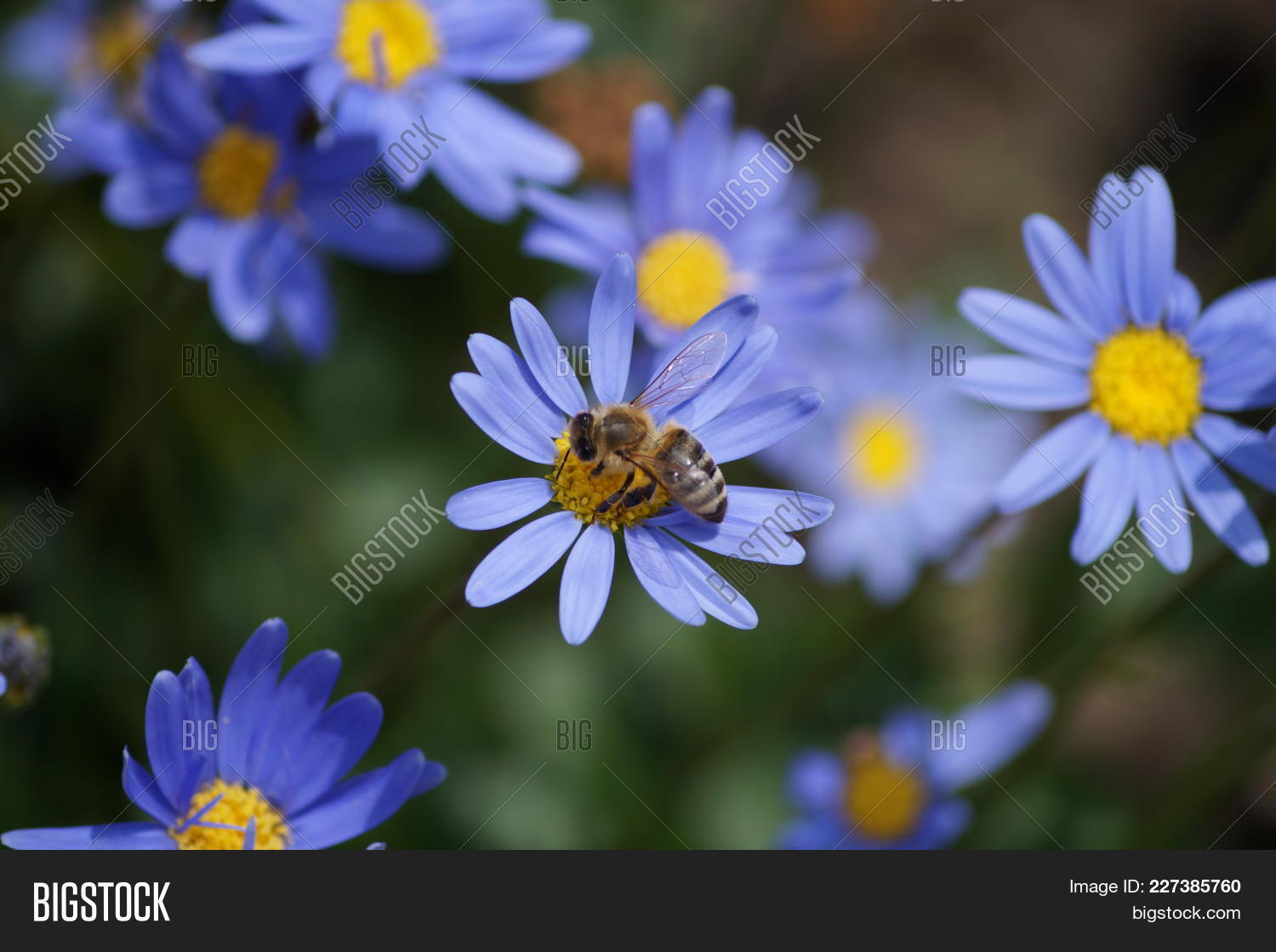 Lilac flower bee image photo free trial bigstock lilac flower with a bee collecting pollen or nectar purple flower like a daisy in izmirmasajfo