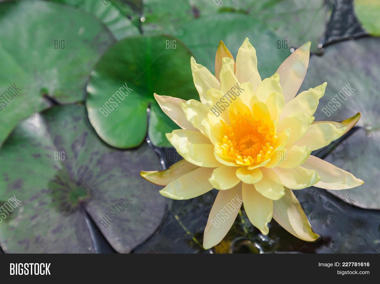 Lotus Flower Water Image Photo Free Trial Bigstock