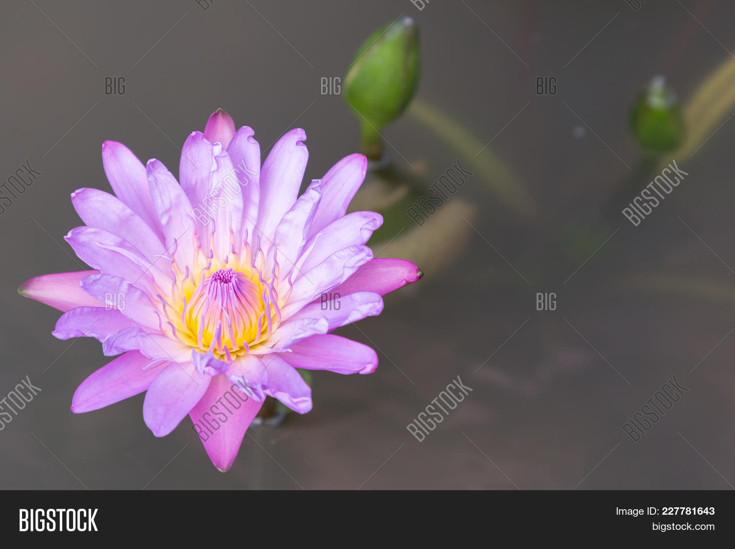 Lotus Flower Water Image Photo Free Trial Bigstock