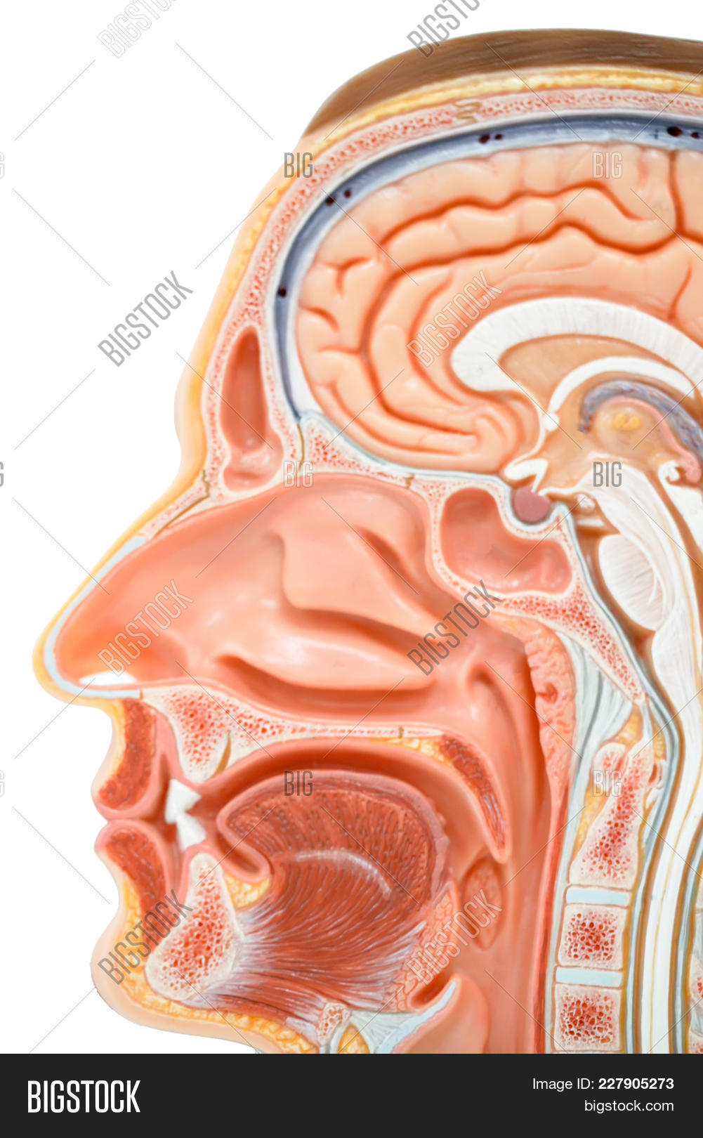 Human Head Anatomy Image & Photo (Free Trial)   Bigstock