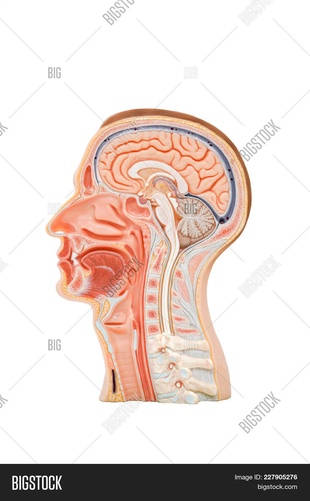 Human Head Anatomy Image Photo Free Trial Bigstock