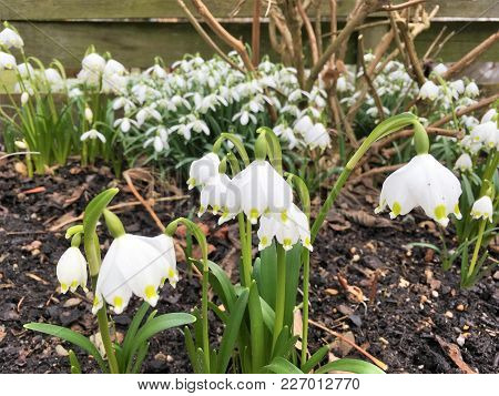 Snowdrops. Winter Is Over And The Snowdrops Are Foretelling It.
