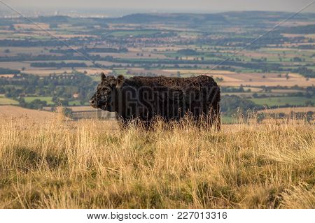 A Black Cow On The Cleveland Way Between Clay Bank And The Wainstones In The North York Moors, Near