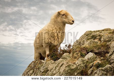 White Sheep Climbing A Rock In Wales, Near South Stack On The Isle Of Anglesey, Wales, Uk
