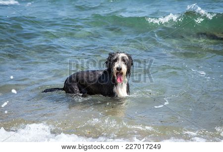 Wet Bearded Collie Stands In The Water And Looks Into The Camera