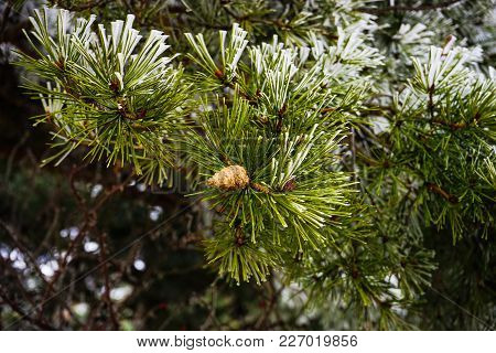 Pine Tree In A Forest Covered With Snow And Ice