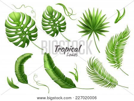 Realistic Tropical Leaves Set. Vector 3d Jungle Forest Exotic Monstera Banana Palm Leaf, Liana Flora