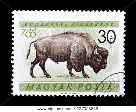 Hungary - Circa 1961 : Cancelled Postage Stamp Printed By Hungary, That Shows Bison.