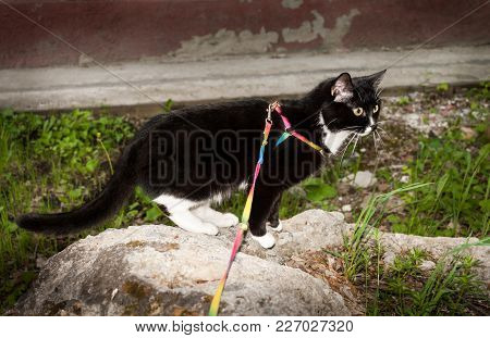Black And White Cat Walking On The Harness Is Standing On Stone In Summer.