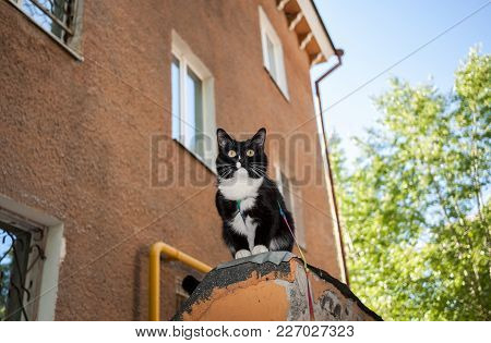 Black And White Cat With Harness Is Sitting On Ledge Of Old House In A Summer Evening.