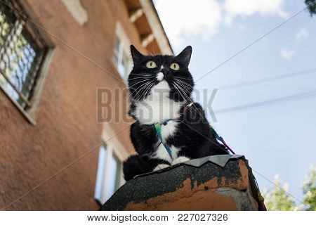 Close-up Black And White Cat With Harness Is Sitting On Stone Ledge Of Ddhouse In Sunny Summer Eveni