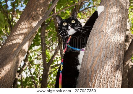 Black And White Cat On Harness With Sticking Whiskers And Wide-open Eyes Is Climbing At A Tree.