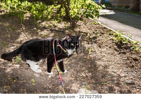 Black And White Cat Walking On The Harness In Sunny Summer Evening.