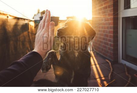 Handshake Between Cute Australian Shepherd Mix And Person In Front Of Beautiful Sunset Shining On Pa