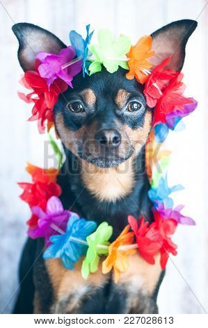 Dog, A Puppy In The Hawaiian Style . Tourist, Traveler., Fashion. Toy Terrier