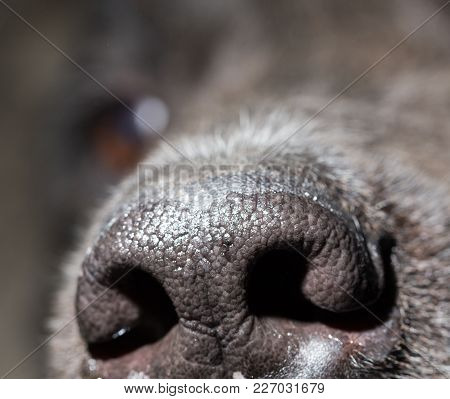Beautiful Black Dog's Nose. Macro
