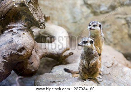 Two Meerkats On A Rock. The Meerkat Or Suricate (suricata Suricatta) Is A Small Carnivoran Belonging