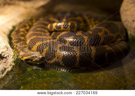 Paraguayan Anaconda Sleeping In The Water Near Rock. Paraguayan Anaconda Is A Boa Species Endemic To