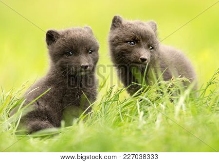 Close Up Of Cute Blue Morph Arctic Fox Cubs In Summer, Iceland.
