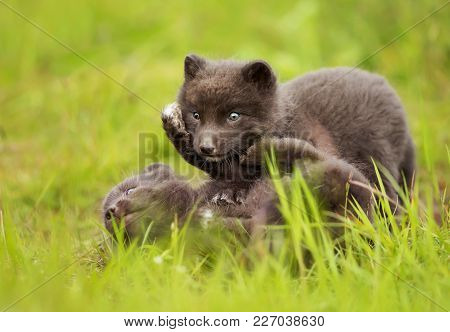 Arctic Fox Cubs Play Fighting In A Meadow, Iceland.