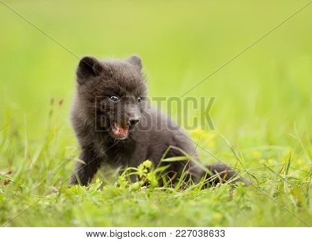 Close Up Of A Blue Morph Arctic Fox Cub Playing On A Grass, Iceland.