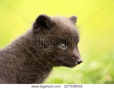 Close Up Of A Blue Morph Arctic Fox Cub, Iceland.