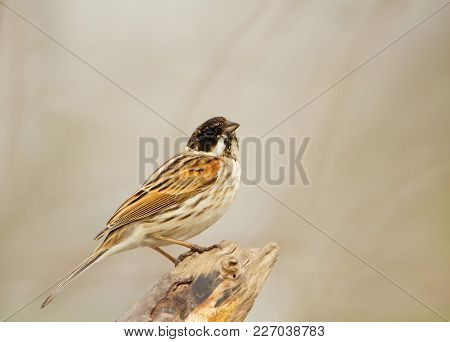 Male Reed Bunting Perching In The Wetlands, Uk.
