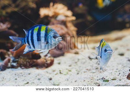 Aquarium Fish - Sergeant Major Or Píntano. Abudefduf Saxatilis.