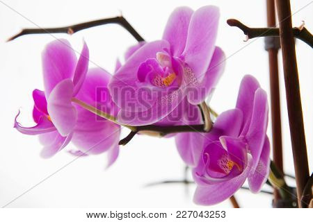 Beauty Orchid Flowers. Floral And Natural Isolated Image.