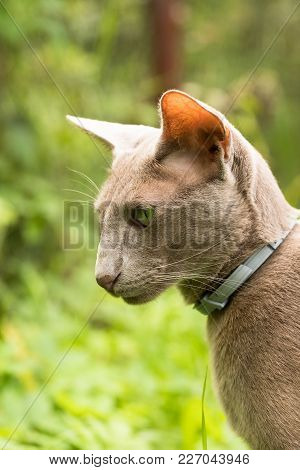Cat Of Oriental Breed. Oriental Shorthair Gray Cat Walking In Summer Garden Outdoors Close Up.