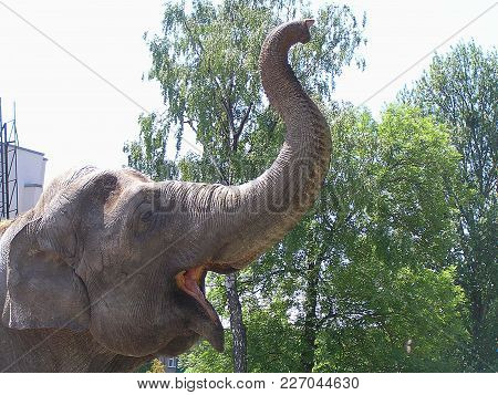 The Elephant In The Kaliningrad Zoo. He Raised His Trunk And Blows