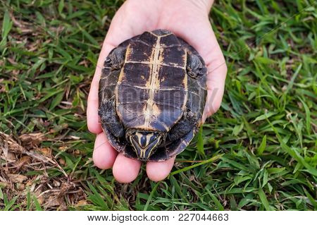 Woman Holding In Hands Small Turtle. Turtle Is Afraid And Hides In Shell. Animal Instincts To Save L