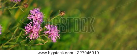 Beautiful Pink Flowers Of Mallow On Blurred Natural Green Background.