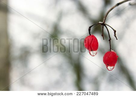 Frozen Water Droplets Hanging From Berries Of Viburnum. Unharvested Viburnum. Winter Despondency